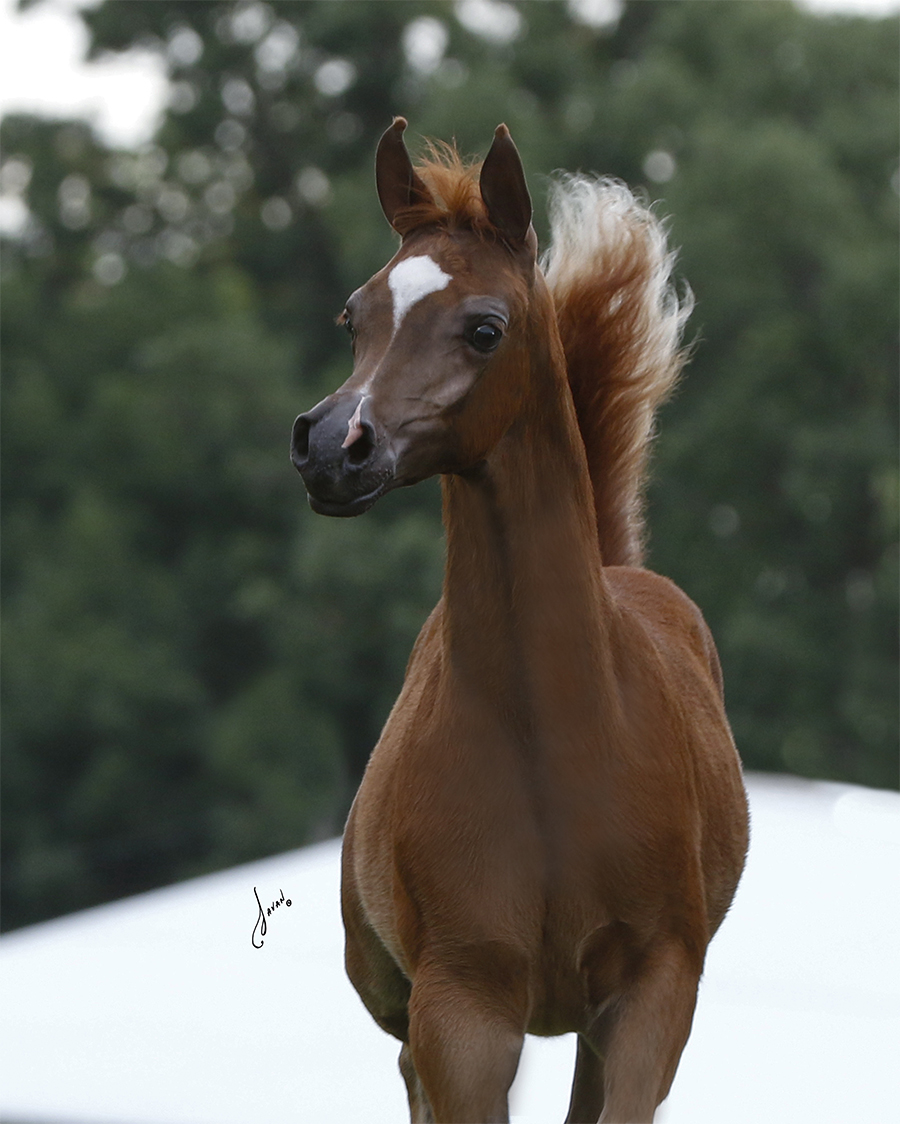 Arabian Horses For Sale At Deer Haven Arabians Show Horses For Sale